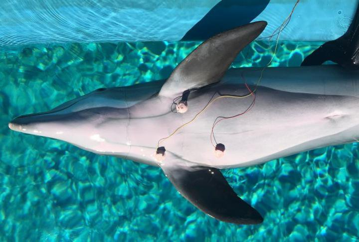 Male dolphin