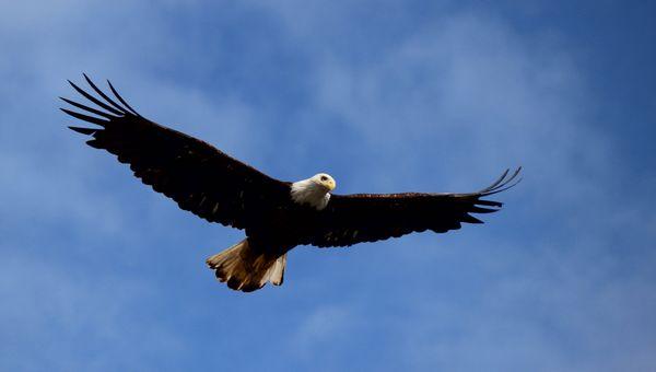 Bald Eagle at Knudson Bay Ketchikan Alaska thumbnail
