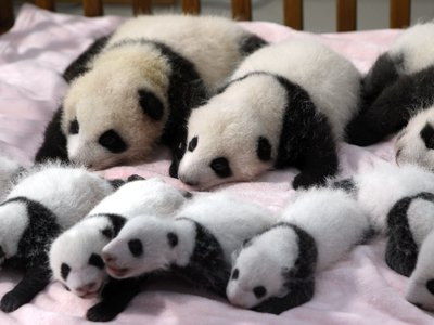 A group of baby pandas born in China last year