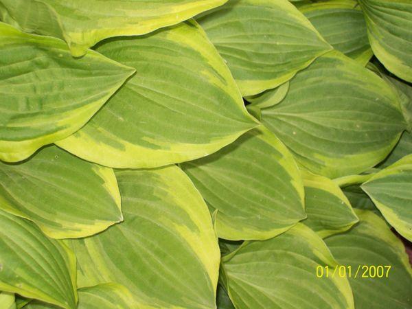 Leaf It To A Hosta... thumbnail
