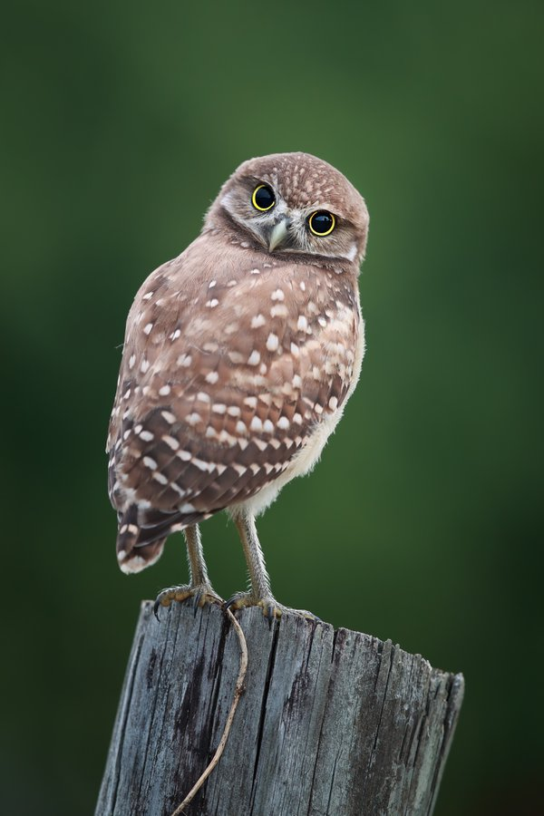 Burrowing Owlet in Cape Coral, Florida. thumbnail