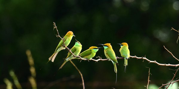 Five green bee eaters thumbnail