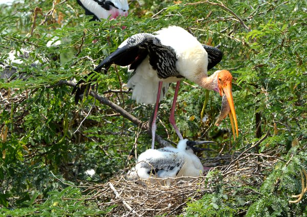 Painted Stork Feeding Chick thumbnail