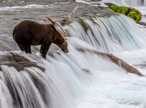 A perfectly still Katmai brown bear surrounded by flowing waters thumbnail