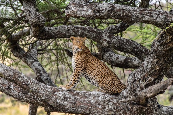A leopard on alert thumbnail