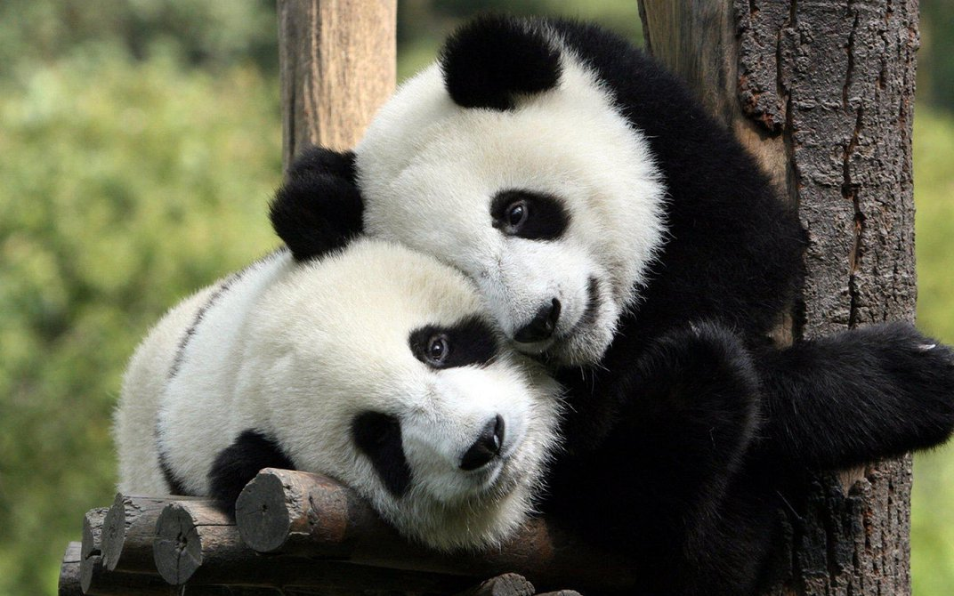 China's National Panda Park Will Be Three Times the Size of Yellowstone