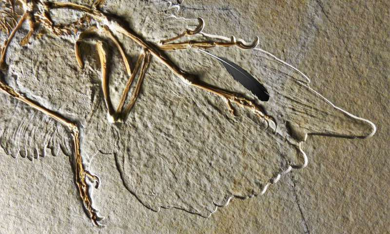 New Study Reignites Debate Over Which Species Shed the First Fossil Feather Ever Found