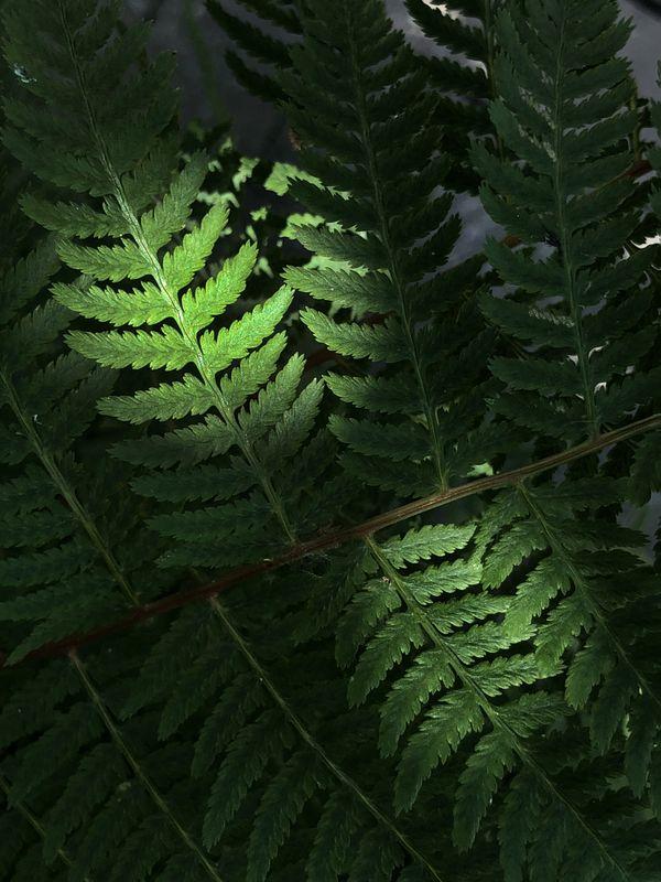 Ferns thumbnail