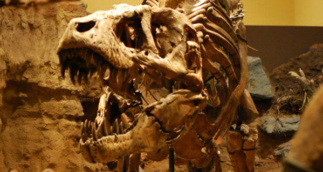 One of the dueling Tyrannosaurus at the Carnegie Museum of Natural History