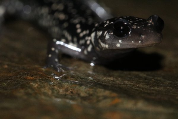 A Northern Slimy Salamander from the Great Smoky Mountains National Park thumbnail