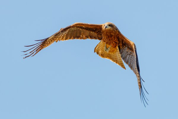 Black kite over Kyoto thumbnail