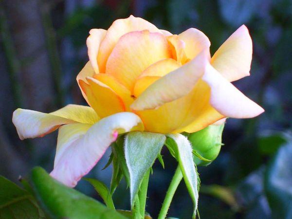 Glowing Peace Rose-Midnight Blue Oregon Sky thumbnail