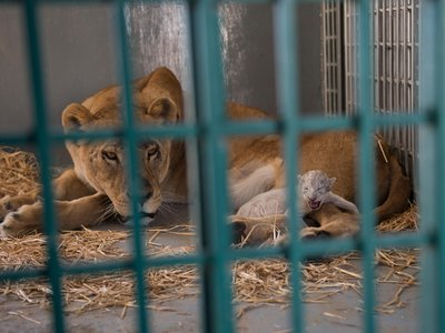 Dana, a lioness rescued from a Syrian zoo, is shown in the enclosure of its new home the day after giving birth to a cub named Hajar