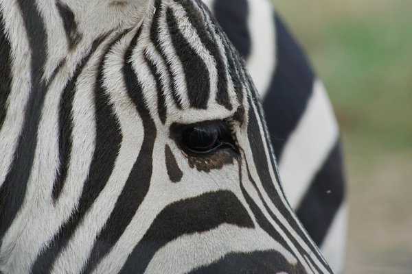 Closeup of a Zebra thumbnail