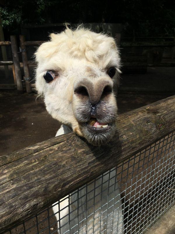 An alpaca greeting me at the zoo thumbnail