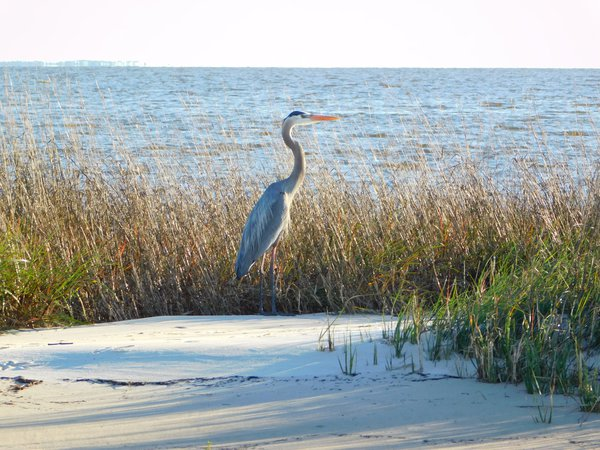 Blue Heron Mouth of Graveline Bayou, Mississippi with Horn Island in background thumbnail