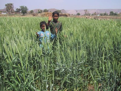 A wheat field in Rajasthan, irrigated during the dry season with water from a johad.