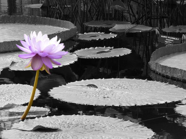 A lily pad flower in Longwood Gardens, Pa. thumbnail