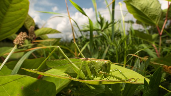 Grasshopper in the grassland thumbnail