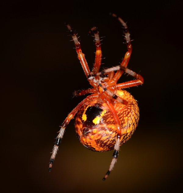 A Marbled Orb Weaver at Night thumbnail