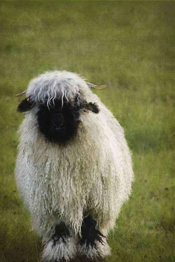 Black Nose Sheep named Susie thumbnail