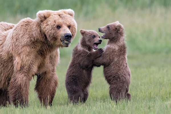 Brown Bear cubs playing by mom thumbnail