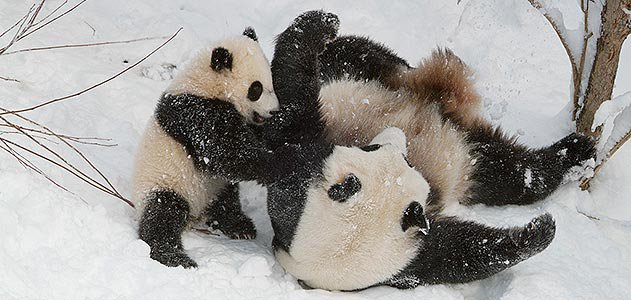 Tai Shan playing in the snow