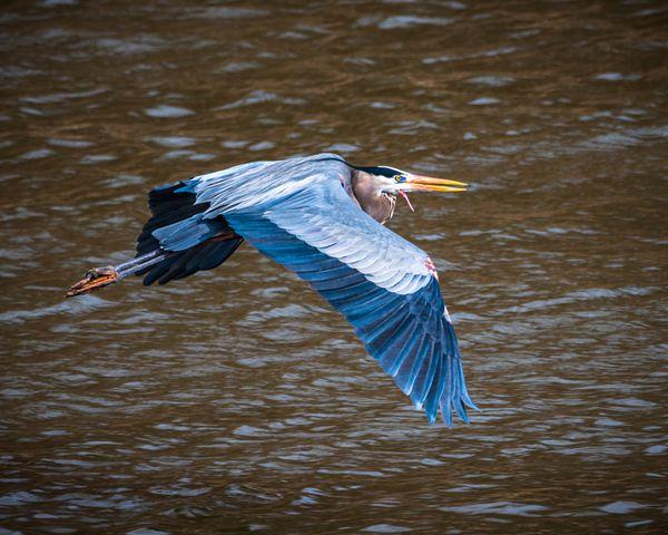 Blue Heron thumbnail
