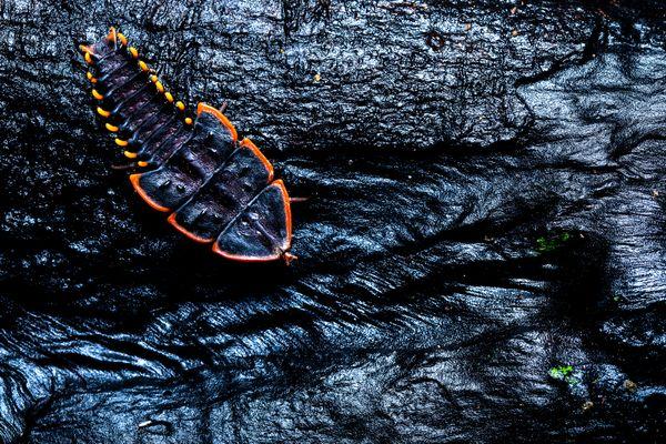 Trilobite beetle thumbnail