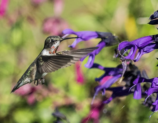 Juvenile Ruby-Throated Hummingbird in the garden thumbnail