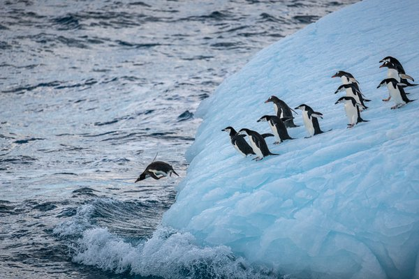 Chinstrap and Gentoo Penguins Heading Back to the Beach thumbnail