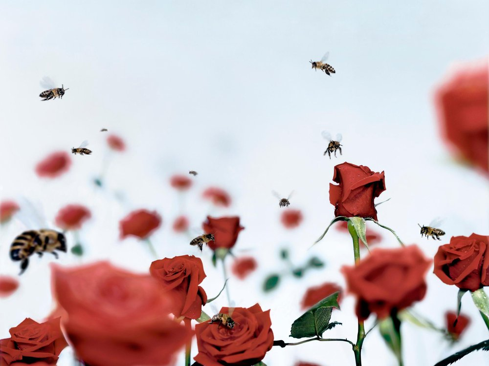 Bees on Roses