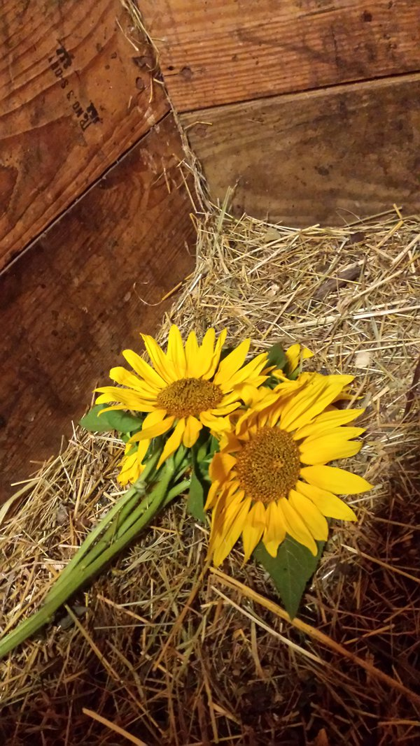 Sunflowers in a Stall thumbnail