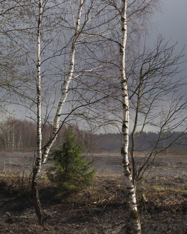 Birch trees in sunlight, Moscow region thumbnail