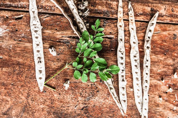 The Moringa plant, used in healing across the world, is shown here beside its seed pods on a table in the village of Jimmi, Sierra Leone. thumbnail