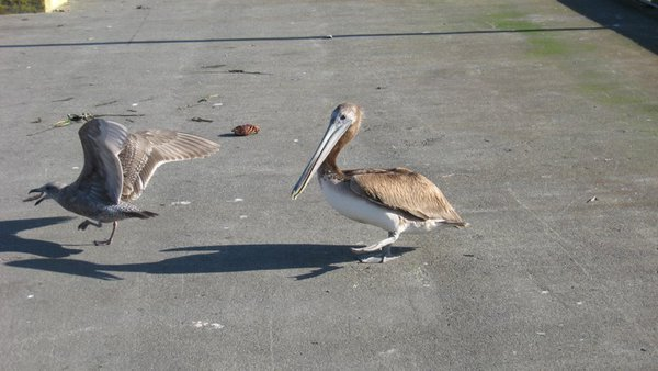 A pelican and a seagull fighting over a piece of crab meat. thumbnail