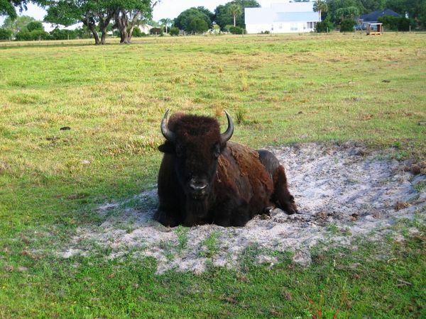 Bison at rest thumbnail