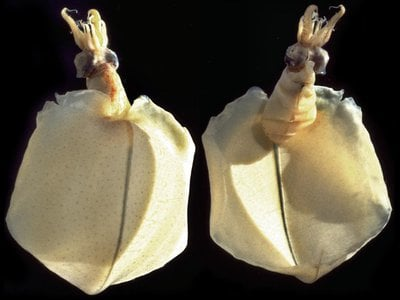 The Pacific bigfin squid (Magnapinna pacifica) in the Smithsonian collections that Mike Vecchione and Richard E. Young used to describe the deepest-known species of squid. (Richard E. Young)