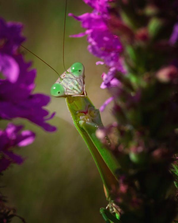 A surprised looking praying mantis among purple flowers thumbnail