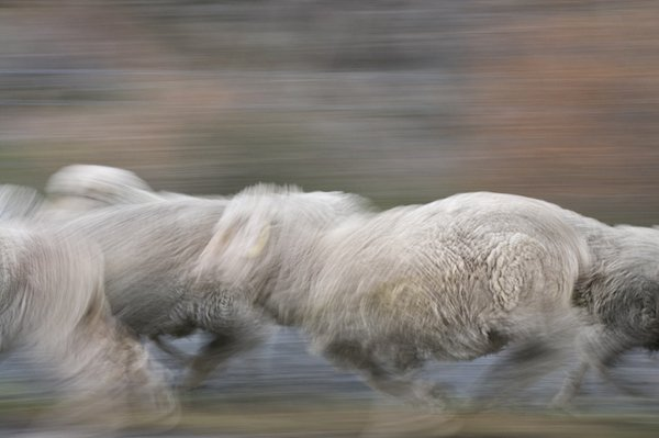 Sheep Running, New Zealand thumbnail