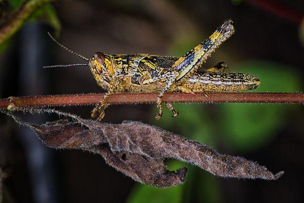 Galapagos Locust thumbnail
