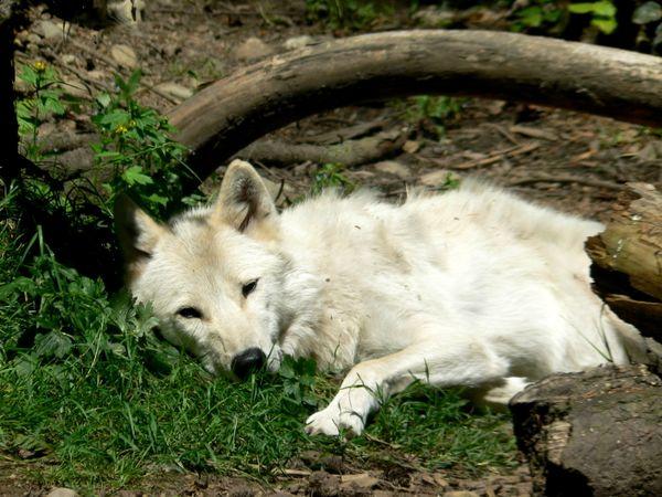 White Wolf thumbnail