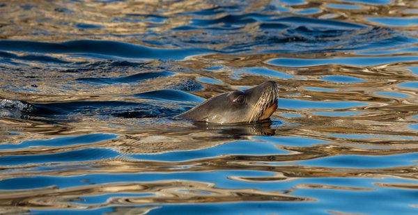 Sea Lion with sunset reflections in the water thumbnail