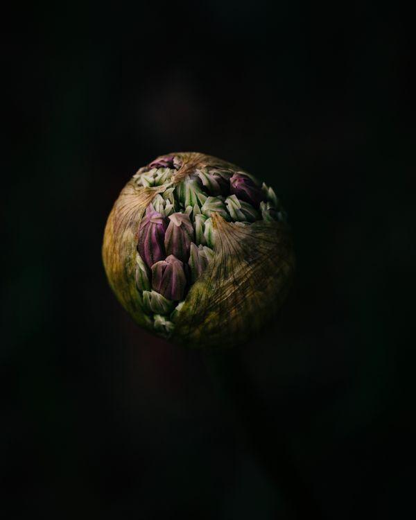 Allium in Natural Light thumbnail