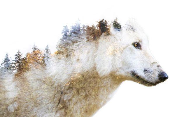 Timber Wolf thumbnail
