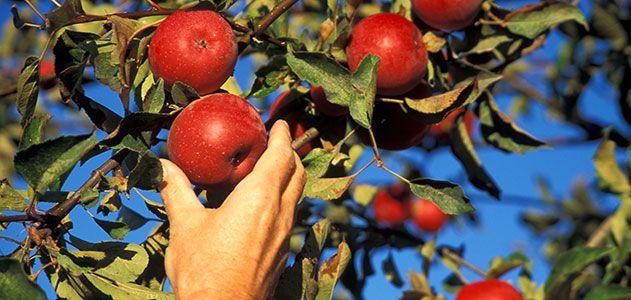 Apples in Sonoma County California