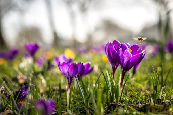 Honeybee in a Field of Flowers thumbnail