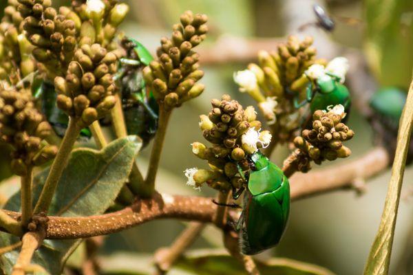 Beetle tree thumbnail