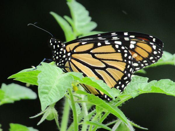 Monarch  thumbnail