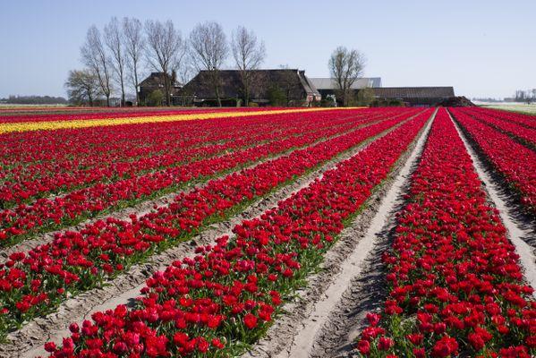 Tulpen in het noorden van Holland thumbnail